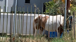 הסוס בביתה של חברת המועצה