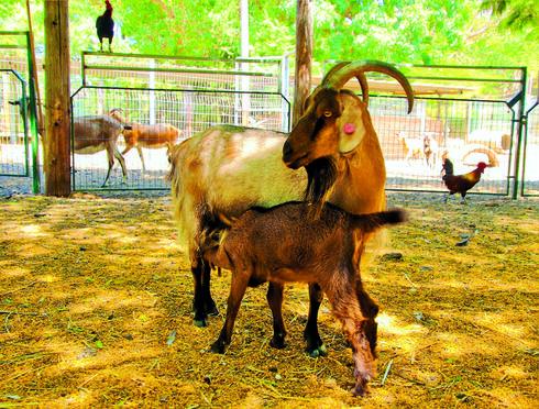 """האכלת עיזים בכפר הירוק   צילום: יח""""צ"""
